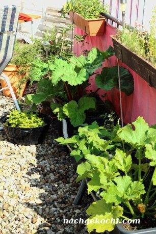 Dachgarten mit Zucchini und Rharbarber